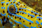 Scrawled Filefish, Aluterus scriptus, eye detail