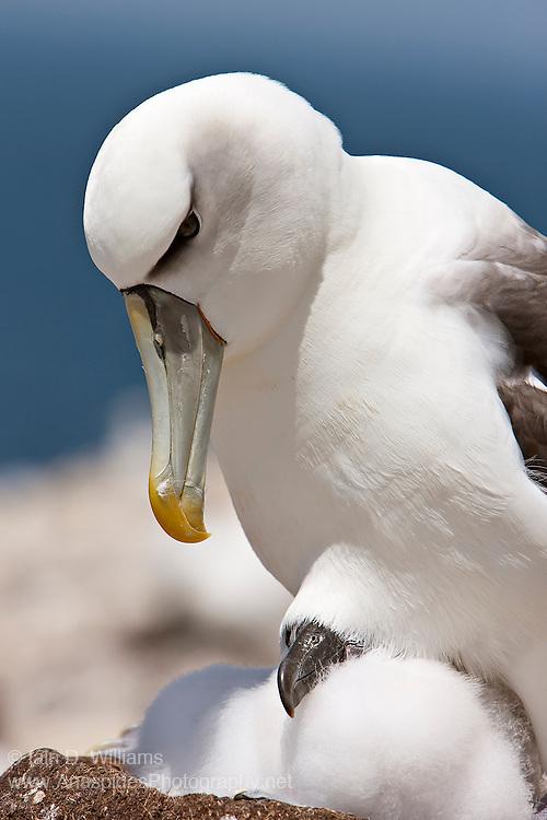 Shy Albatross (Thalassarche cauta) - Tasmania