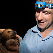 A researcher holds a Mauritius flying fox or giant fruit bat after catching it in a mist net for a study. Bats are the only native mammals on Mauritius. This flying fox will be tagged with a GPS collar so that scientists can better understand the movements of the flying foxes, helping them plan for their conservation.