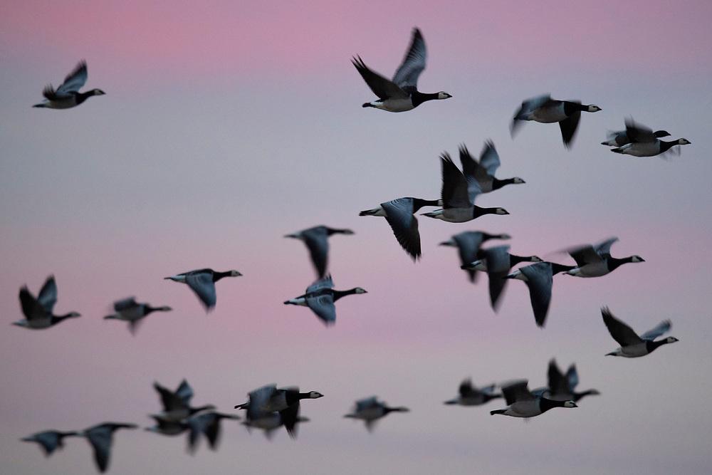 Barnacle geese, Branta leucopsis, Hjälstaviken Nature reserve, Sweden