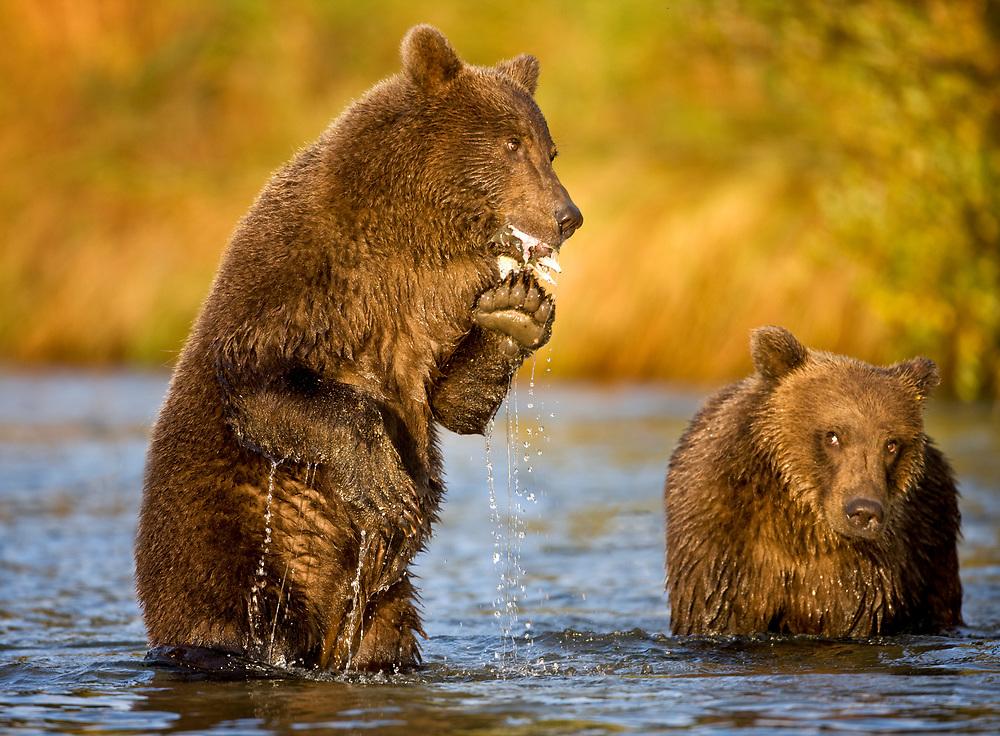 USA, Alaska, Katmai National Park, Kinak Bay, Brown Bear (Ursus arctos) second-year cubs feeding on spawning salmon in river on autumn morning