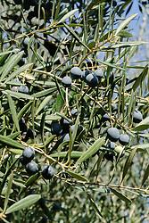 olijfboom, Olea europaea