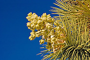 Joshua tree (Yucca brevifolia) in bloom, Joshua Tree National Park, California