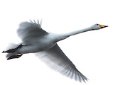 Whooper Swan in flight | Flyktende Sangsvane