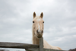 tan and white horse by a wooden fence outdoors