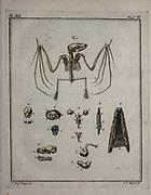 Bat from a zoology study of animals 'Dierkundige beschouwingen, eeniger soorten van zeldzame dieren, door naauwkeurige beschryvingen, afbeeldingen en verhandelingen opgeheldert' by Pallas, Peter Simon, Printed in Rotterdam in 1770