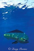 mahi mahi, dorado or dolphin fish, Coryphaena hippurus, La Guaira Bank, Venezuela, South America ( Caribbean Sea )