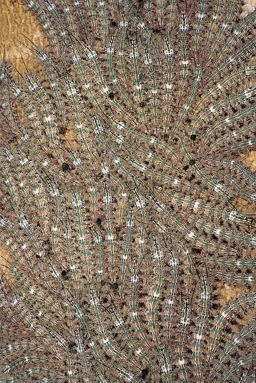 Caterpillars on tree<br />Manu National Park, PERU.  South America