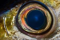 Eye of Bigeye Tuna, Thunnus obesus, off Kona Coast, Big Island, Hawaii, Pacific Ocean