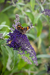 Red admiral butterfly on Buddleia davidii 'Buzz Indigo'. With bee
