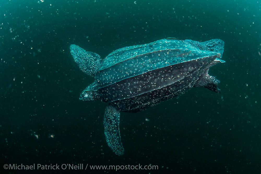 A female Leatherback Sea Turtle, Dermochelys coriacea, swims in the murky Caribbean Sea offshore  Grand Riviere, Trinidad, prior to nesting. Image available as a premium quality aluminum print ready to hang.
