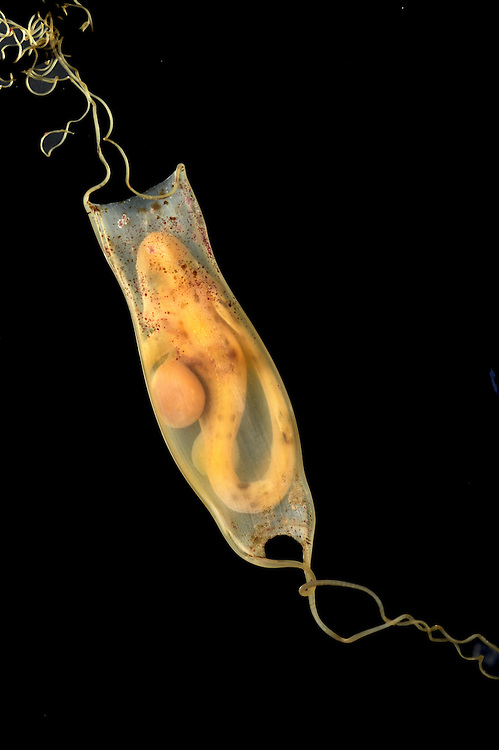 Lesser Spotted Catshark (Dogfish) Scyliorhinus caniculus egg case Length to 4cm<br /> Embryo inside egg case. Capsule small, relatively narrow and translucent; has long curling tendrils at corners, and may be found in small groups.