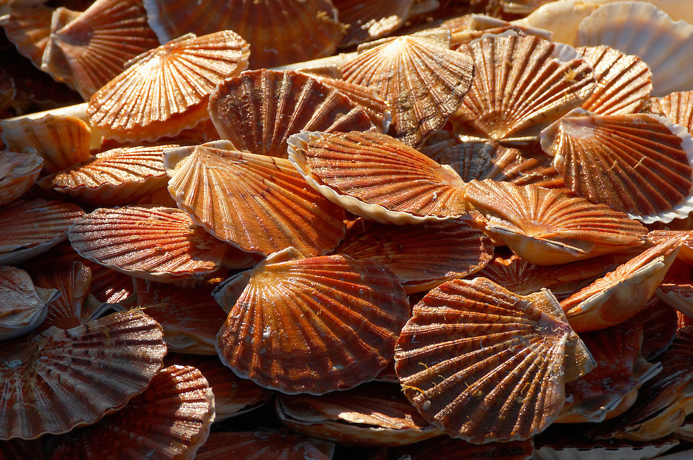 Scallops being landed off a fishing boat - Honfleur France.