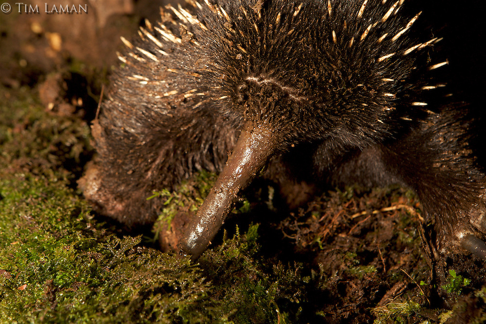 Long-beaked Echidna (Zaglossus bartoni)<br /><br />Endangered Species (IUCN Red List: CR)