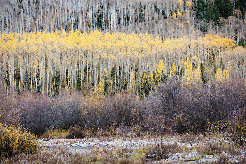 Yellow aspen trees in Aspen Colorado