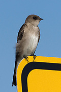 Northern Rough-winged Swallow.(Stelgidopteryx serripennis).Back Bay Reserve, California