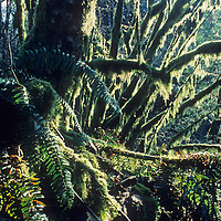 Moss and Ferns thrive in a temperate rain forest along the road to Mount Baker Ski Area, which often receives more snowfall than any other lift-serviced mountain in North America.
