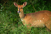 The Bushbuck raised her head from feeding to look at where I stood in Nairobi National Park. Her long tongue came out to lick her lips.