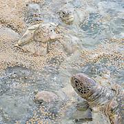 Green Sea Turtle feeding inside tank at The Cayman Turtle Farm. Grand Cayman Island.