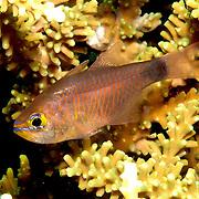 Duskytail Cardinalfish inhabit coastal reefs. Picture taken Lembeh Straits, Sulawesi, Indonesia.