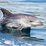 Indo-Pacific bottlenose dolphin (Tursiops aduncus) surfing. Note that the dolphin's eye is closed. Also note the teeth rake marks on the dorsal surface of the animal. These are likely to be scars from encounters with other dolphins.
