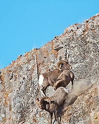 Fighting Bighorn sheep, one ram knocks the other off the cliff.
