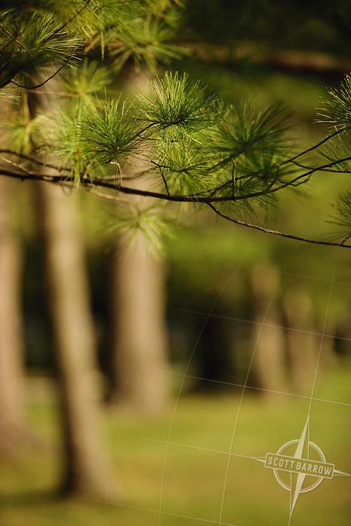 White Pine tree branch.