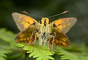 Close-up front view of a male Large skipper butterfly (Ochlodes sylvanus) resting with open wings on bracken in a Norfolk woodland habitat in summer