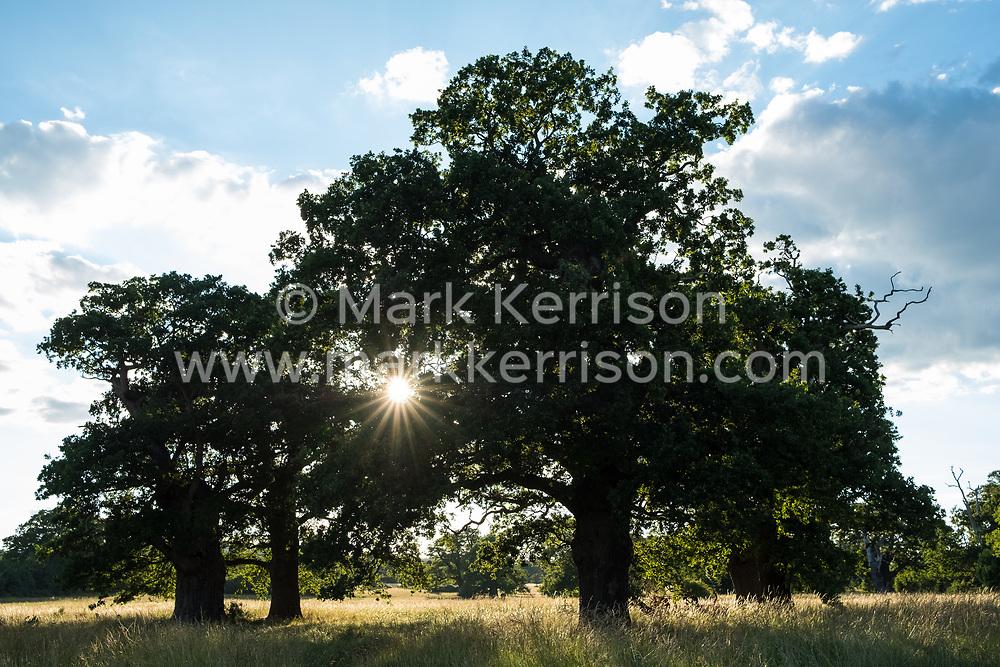 Windsor, UK. 11 July, 2020. Evening sunshine seen through oak trees in Windsor Great Park.