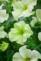 Petunia Sophistica Lime Green = 'Pas933349'
