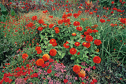 Designed by Rob Proctor. the  Drop Dead Red garden explodes with masses of Zinnias, Gomphrena, Calla Lily, Ajuga and othe red flowers at the Denver Botanic Gardens in Denver, Colorado