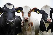 Nederland, Ooij, 24-10-2019Jonge koeien, pinken, in de wei.Foto: Flip Franssen
