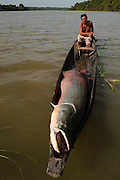 Arapaima (Arapaima gigas) & licenced Arapaima fisherman. A South American tropical Fish that is one of the largest in the world.<br /> Rupununi<br /> GUYANA<br /> South America<br /> MODEL RELEASE GYA#1