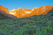 Early morning alpen glow and Arnica from McGree Creek hillside.