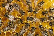 The honey bee (Apis mellifera) queen is surrounded by the workers. They feed and guide her across the honeycombs. Here, she is laying an egg into one of the cells. Kiel, Germany | Die Königin der Honigbiene (Apis mellifera) umringt von den Arbeiterinnen. Sie wird von ihnen umsorgt, gefüttert und über die Waben geleitet. Hier legt sie gerade ein Ei in eine Zelle. Kiel, Deutschland
