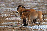 Przewalski's horse mare with foal, Equus przewalskii or Equus ferus przewalskii, also called the Mongolian wild horse or Dzungarian horse, Kalamaili National Nature Reserve, Xinjiang, China. These individuals rounded up into a feeding enclosure during winter, for reasons of increased survival possibilities for the species. Wild, but in a temporary enclosure over winter.