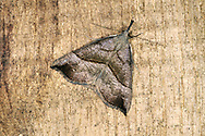 The Snout Hypena proboscidalis Length 17-19mm. A distinctive moth that rests with its angular wings spread flat, forming a triangle, its long palps projecting as a 'snout'. Adult has forewings that range from buff to reddish-brown forewings; these are marked dark cross lines. Double-brooded: flies June-August, and again in late September. Larva feeds on Common Nettle. Widespread and common throughout.