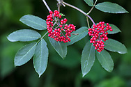 Closeup of Red Elderberry (Sambucus racemosa) berries in the forest of Derby Reach Regional Park in Langley, British Columbia, Canada.