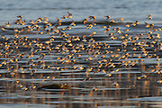 Thousands of shorebirds, mainly dunlin (Calidris alpina), fly over the Bowerman Basin in Washington's Grays Harbor. As many as a million shorebirds make a brief stop in the Grays Harbor National Wildlife Refuge each spring during their migration north to their breeding grounds.