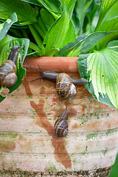 Snails attacking hostas in a terracotta container
