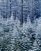 Red spruce forest, Picea rubens, covered with snow and rime ice, Yew Mountains, Monongahela National Forest, West Virginia.