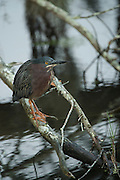 Green Heron (Butorides virescens)<br /> Little St Simon's Island, Barrier Islands, Georgia<br /> USA
