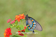 03004-00813 Pipevine Swallowtail (Battus philenor) on Red Spread Lantana (Lantana camara) Marion Co.  IL
