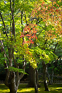 A splash of red Acer leaves in the Kenrokuen Garden, Kanazawa, Ishigawa, Japan
