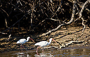 White Ibis birds, Eudocimus albus, by mangroves at Fakahatchee Strand in Everglades, Florida, USA