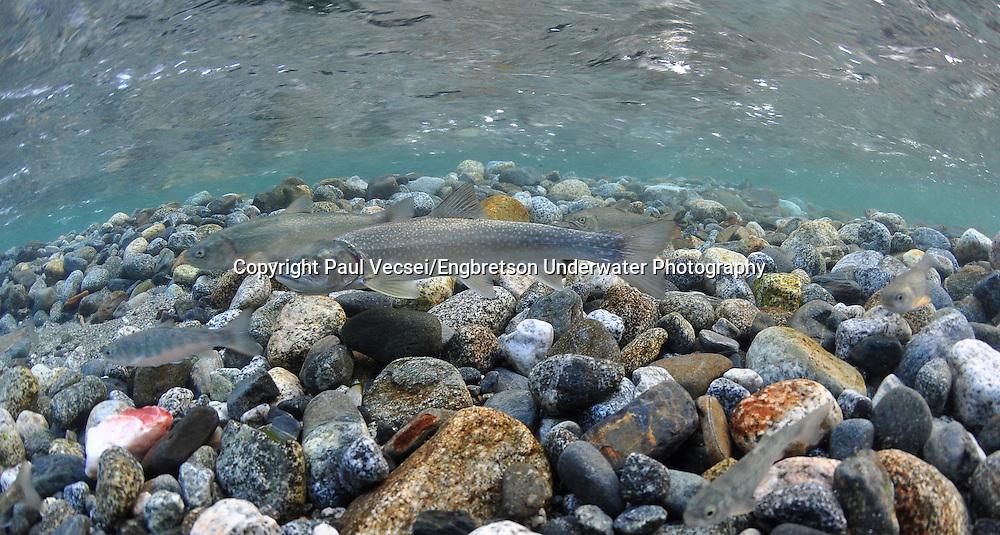 Dolly Varden<br /> <br /> Paul Vecsei/Engbretson Underwater Photography
