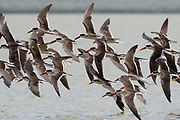 African skimmers, Rynchops flavirostris, in flight over lake Gipe.