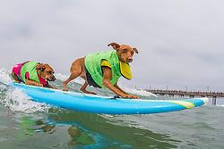 July 29, 2017 - Imperial Beach, CA, US - Surfdog returns to Imperial Beach for the twelfth  year...Giselle and Rusty surfing. (Credit Image: © Daren Fentiman via ZUMA Wire)