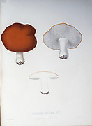 Hydnum politum Mushrooms, Pathogenic fungi from the book Sveriges ätliga och giftiga svampar tecknade efter naturen under ledning [Sweden's edible and poisonous mushrooms drawn after nature under guidance] By Fries, Elias, 1794-1878; Kungl. Svenska vetenskapsakademien Published in Stockholm, Sweden in 1861