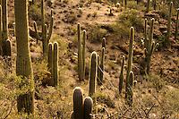 Saguaro National Park, Tucson. Morning light on Saguaro cactus.